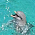 A happy dolphin in the sea at the Dolphin Academy Curaçao.