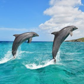 Two happy dolphins jumping out of the sea at the Dolphin Academy Curaçao.