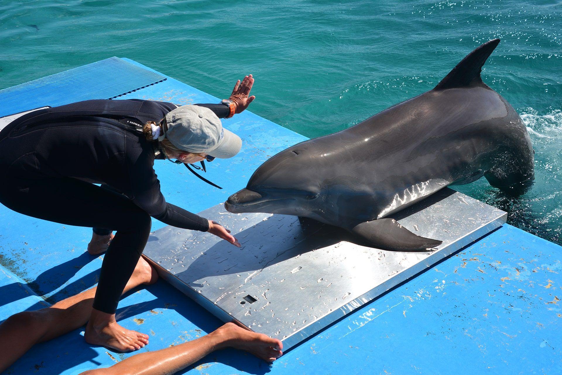 Een trainer op de dolphin academy op Curaçao traint de dolfijn.