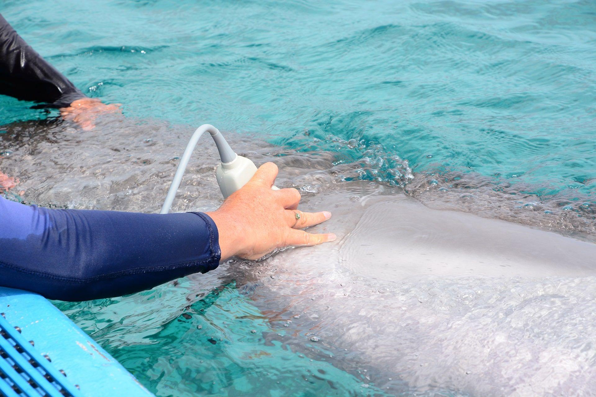 Een dolfijn van de dolphin academy op Curaçao die de beste zorg krijgt.