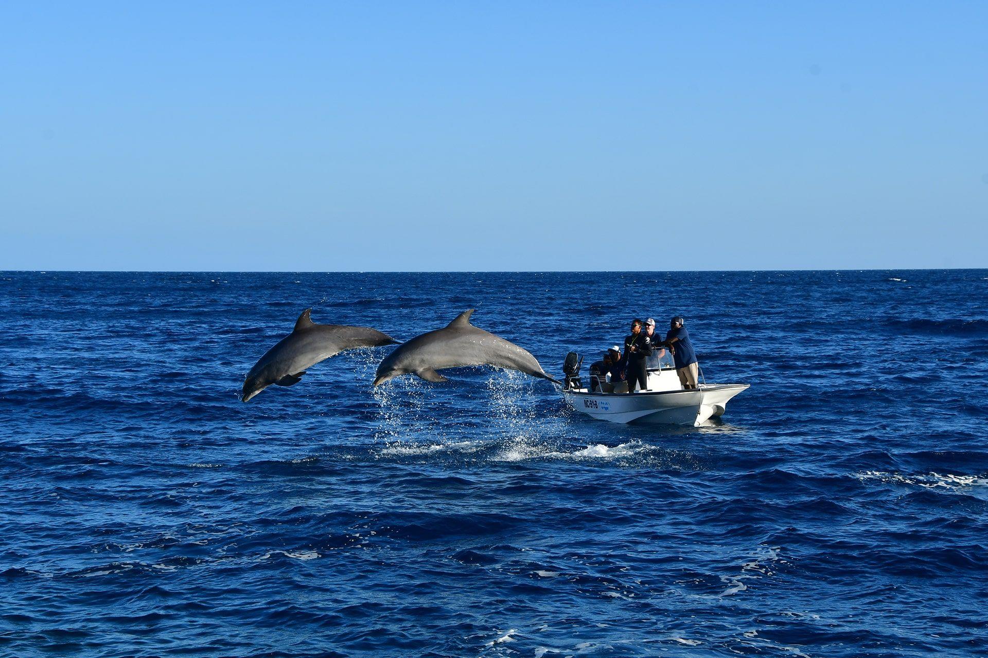 Dos delfines recibiendo entrenamiento de entrenadores en mar abierto.