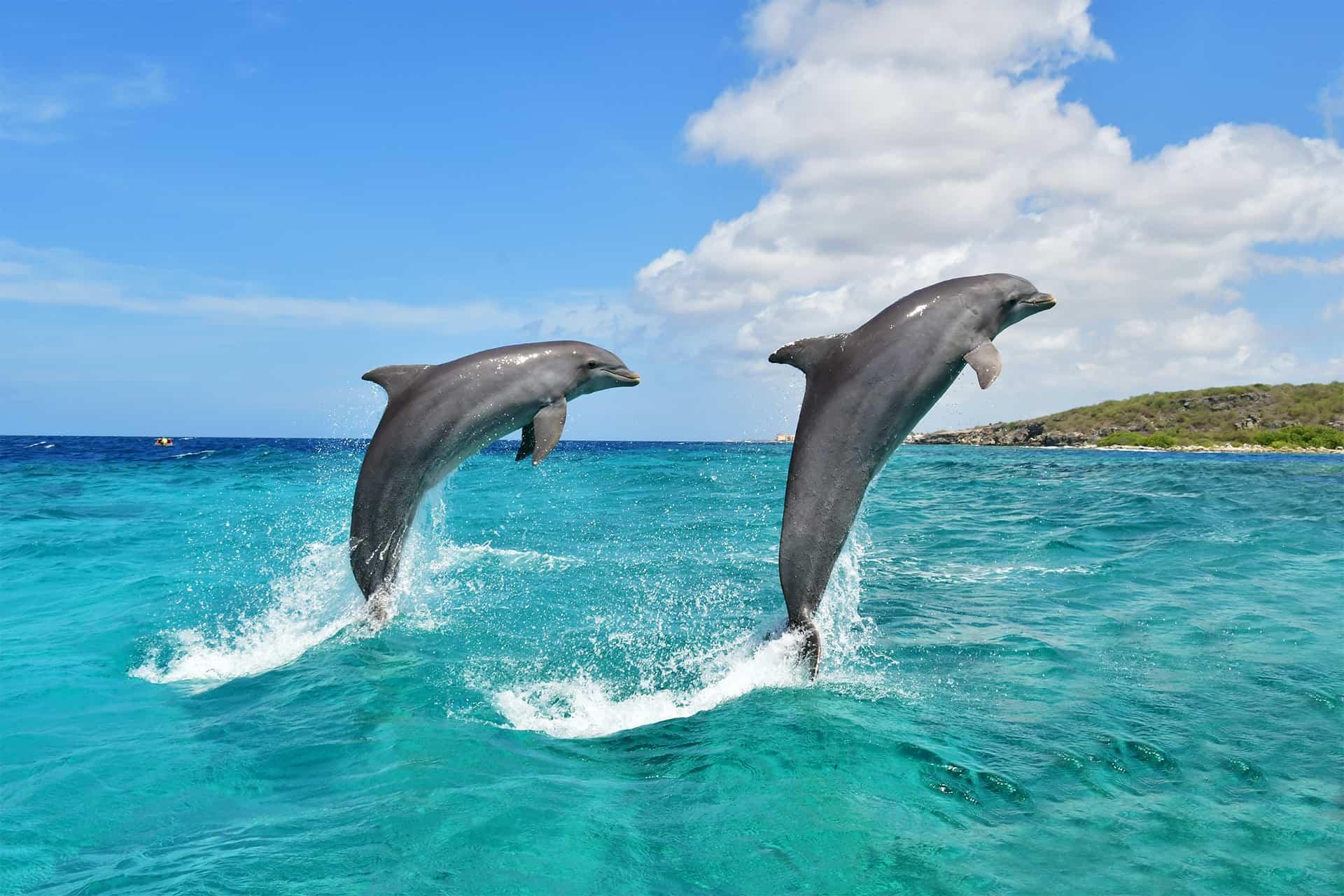 Twee vrolijke dolfijnen springen uit de zee bij de Dolphin Academy Curaçao.