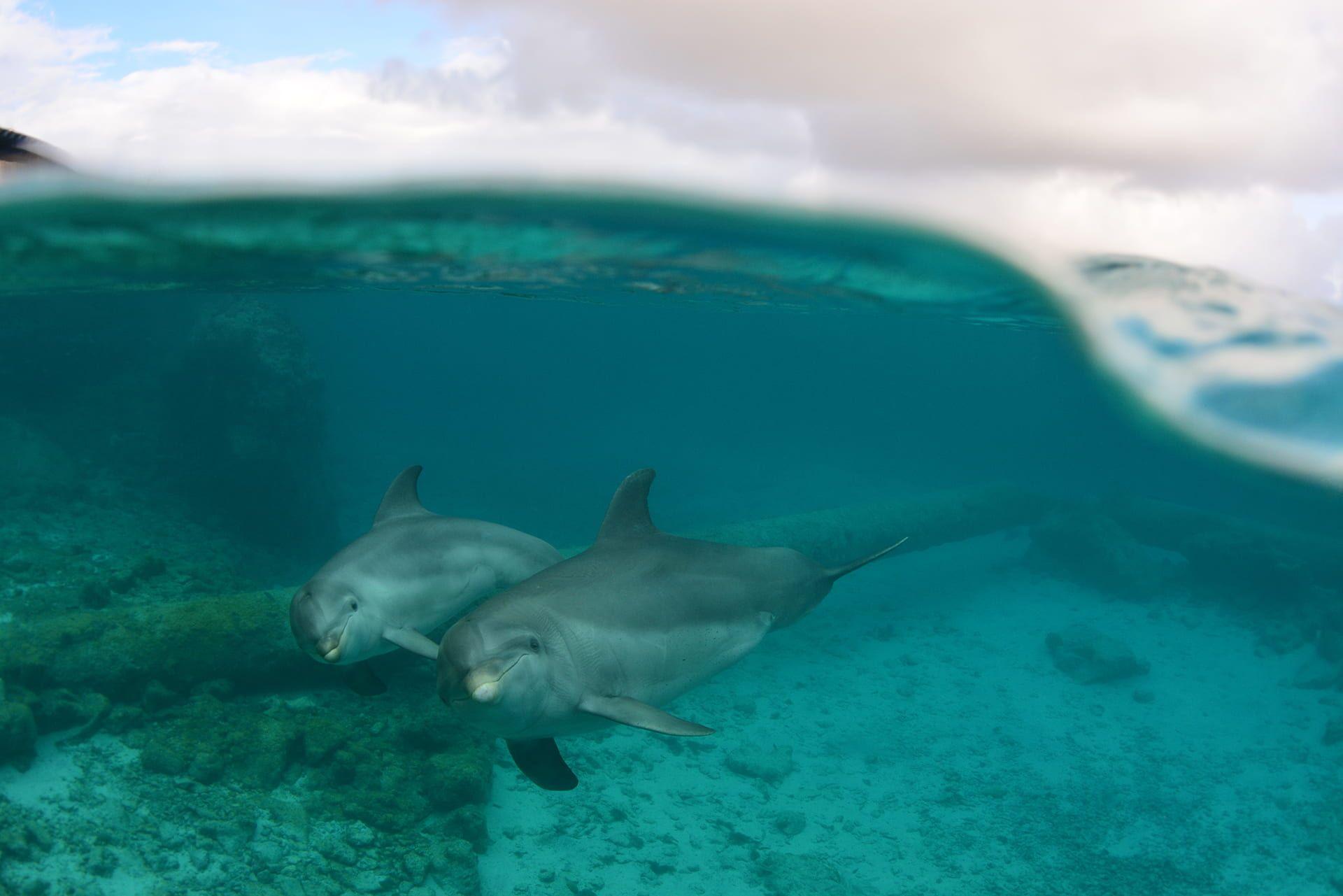 Een onderwaterfoto van twee zwemmende dolfijnen.