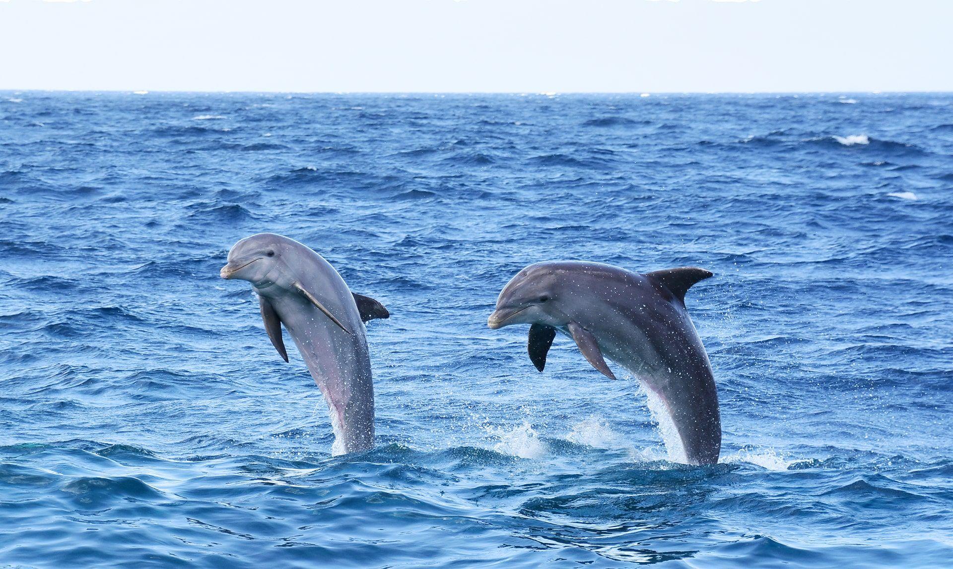 Twee dolfijnen krijgen training op open zee.