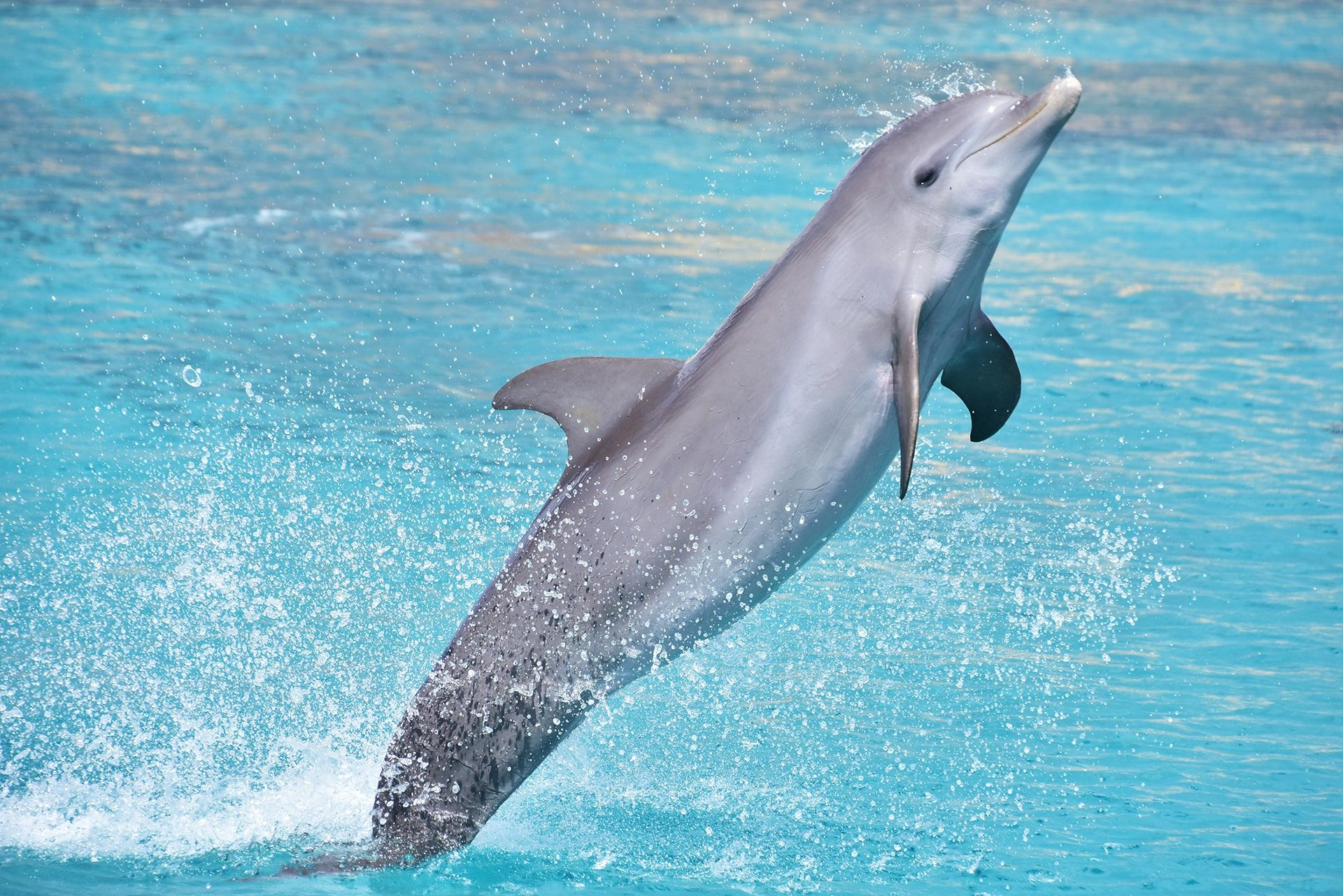 Een dolfijn die uit de zee springt bij de Dolphin Academy op Curaçao.