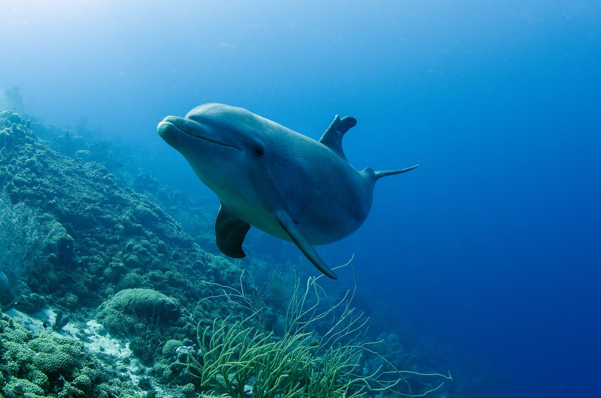 Een dolfijn in zijn dynamische karakter bij de Dolphin Academy op Curaçao.