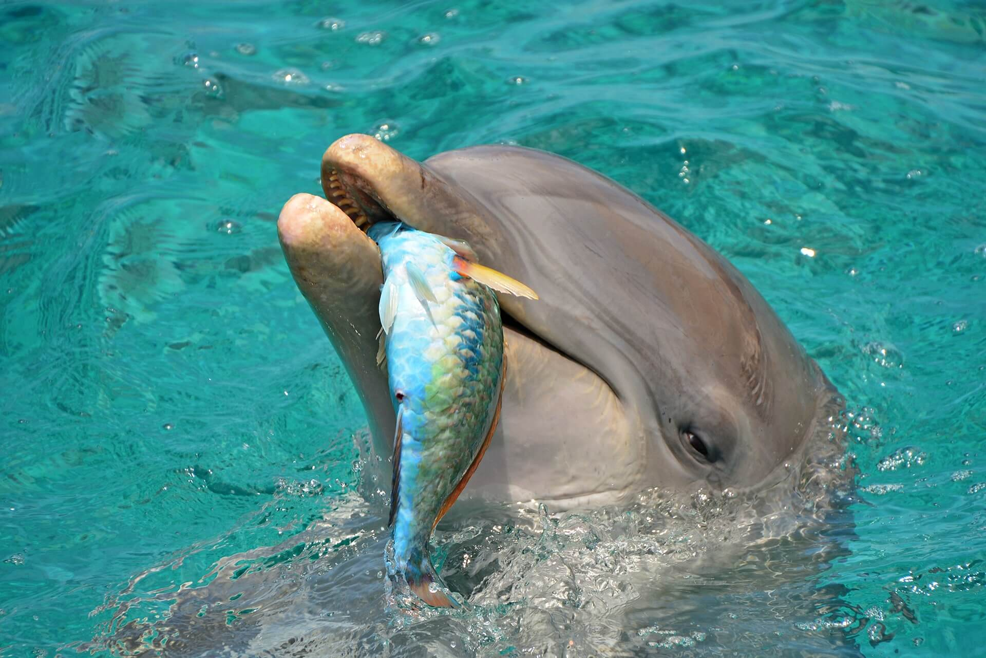 A dolphin eating a fish at the dolphin academy in Curaçao.
